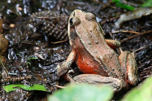Northern red-legged frog (Rana aurora), Trillium Falls Trail, Prairie Creek Redw Canvas Print