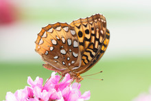 Butterfly 2018-60 / Great Spangled Fritillary (Speyeria Cybele) On Flowers