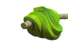 Green Tree Python Coiled Aroun...