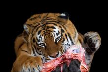 Tiger Eating Meat On Black Background