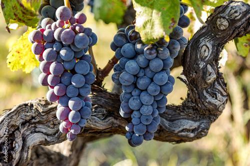 Fotografia  Ripe grapes on the vine