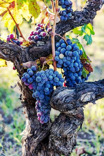 Ripe grapes on the vine Fototapete