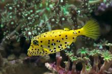 Pufferfish Swimming Underwater...