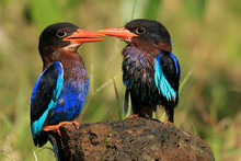 Two Kingfisher Birds Looking At Each Other, Indonesia
