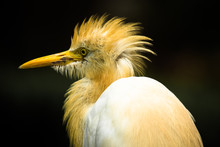 Close Up Of Pacific Reef Heron
