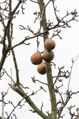 Pears on a tree in winter.