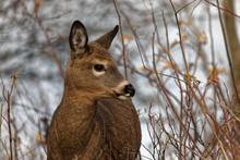 Close Up On A Virginia Doe Deer