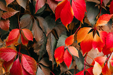 Background Of Red And Green Virginia Creeper Known As Five-leaved Ivy On The Wall.