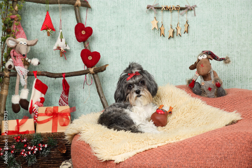 Adorable Bichon Havanese Dog With Red Ribbon Bow Lying On A Cosy