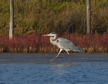 Heron Walking In The Lake