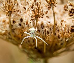 Spinne in einer Blüte