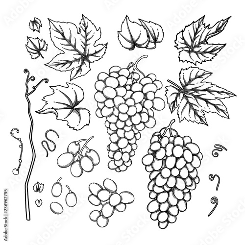 Graphic bunches of grapes, leaves and branches Canvas