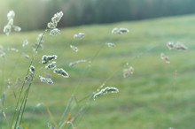 Beautiful Soft Grass Seedheads In Tall Grass With Dew Sparkling In Morning