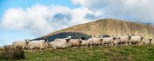 Herd Of Sheep On A Grass Hills...