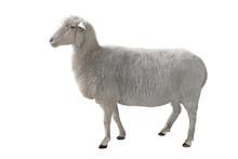 Sheep Isolated On White