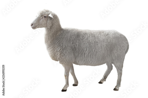 Canvas-taulu sheep isolated on white