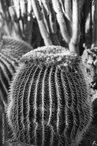 Poster. Cactus. Black and white