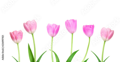 Foto op Aluminium Tulp Border of Pink Tulips flowers isolated on white background. Happy Easter and Mother's Day concept