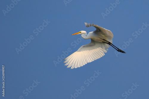 Photo Image of white egret flying in the sky. Animal. white Bird.