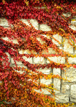 Red Ivy On The Wall In Autumn