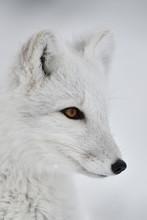 Portrait Of Young Arctic Fox I...