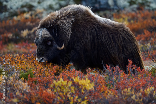 Muskox walking in meadow at Dovrefjell Sunndalsfjella National Park