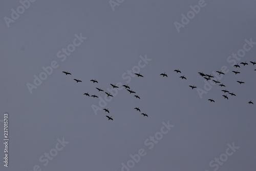 Fotografie, Obraz  Flock of Geese