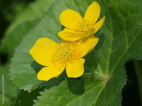 Fototapeta Populage des marais aux grosses fleurs jaunes et feuilles glabres (Caltha palustris) obraz na płótnie