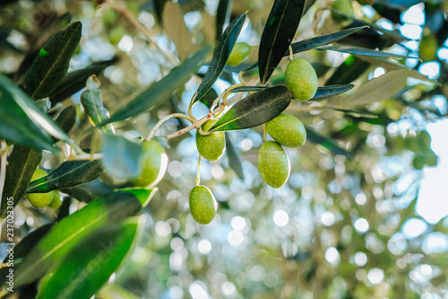 Mediterranean olive tree branches with ripe olives