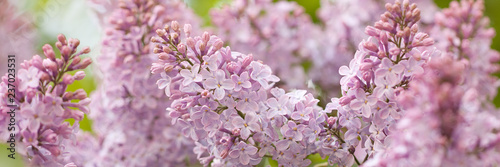 Stampa su Tela branch of a beautiful lilac lush blossoms in a summer park or garden