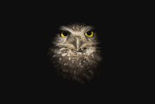 Wise Owl Emerging From The Sha...