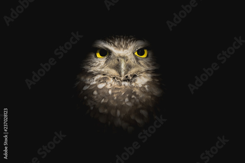 Fototapety, obrazy: Wise Owl Emerging from the Shadows - Burrowing Owl at Night