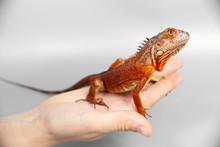 Woman Holding Orange Red Colorful Iguana In Her Hand, Closeup, On Grey Background
