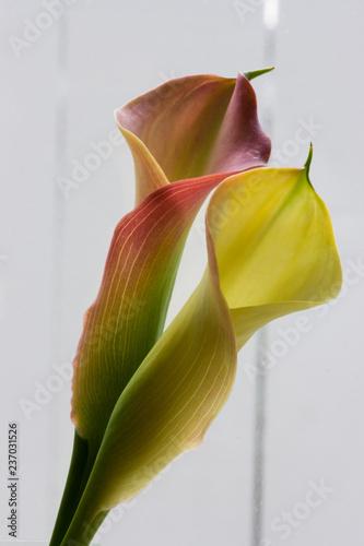 Photo  Tulip1