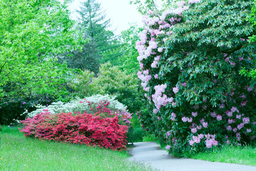 Fototapeta Ogrody Walking path between flowering pink rhododendron, white and red azalea in a spring garden .