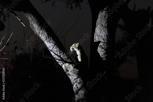 Leopard on a tree at night