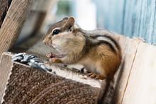 Cute Eastern Chipmunk Sitting ...