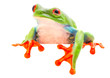 red eyed tree frog blinking an eye. looking sick sleepy tired or sad. A tropical animal from the Rain forest of Costa Rica isolated on shite background.