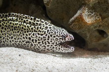Black Spotted Leopard Moray Ee...
