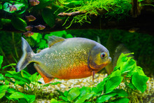 Beautiful Red Bellied Piranha With Glittery Scales Swimming In The Aquarium, A Tropical And Colorful Fish From The Amazon Basin