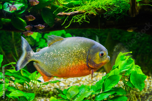 Obraz na plátně beautiful red bellied piranha with glittery scales swimming in the aquarium, a t
