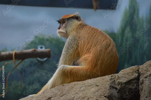 Photo  Patas monkey on a rock
