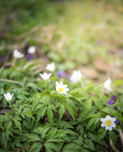 Spring Scene - Wood Anemone Fo...