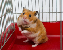 Cute Funny Syrian Hamster Sitt...