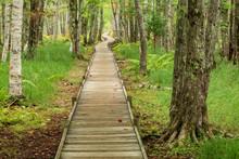 Boardwalk In Acadia National Park Birch Forest