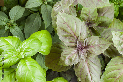 Fotobehang Aromatische Basil herb leaves background close up.