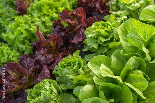 Photo leaf lettuce field