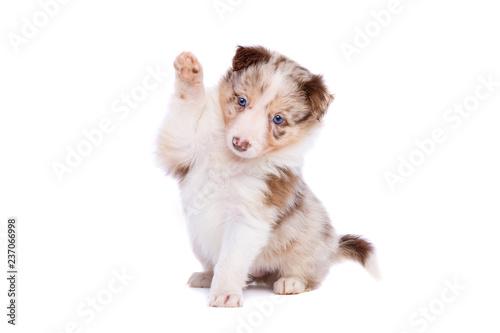 Red merle border collie puppy Canvas Print