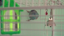 Paralette Bird, A Assume A Mix Between A Parakeet And Another Type Of Bird, Sits In The Cage.