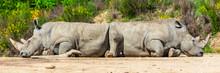 Two Rhinoceros Slept In A Funny, Strange Position, Funny Attitude